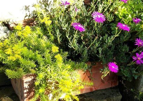 winterharte stauden als topf und kuebelpflanzen