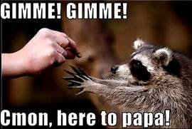 raccoon funny - Animal...