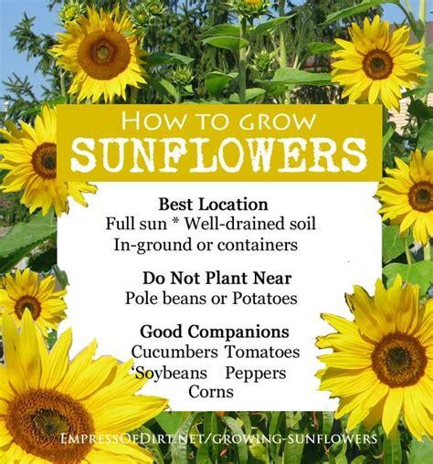 can i grow sunflowers in pots sunflower oat tea towel gardens companion gardening and flower
