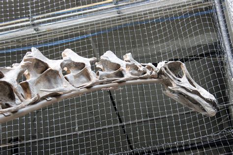 Rare Dinosaur Skeleton On Display At Rhinegeist Wvxu