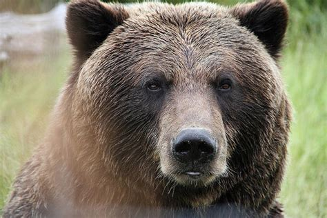groups intend  sue   wyoming grizzly hunt law mtpr