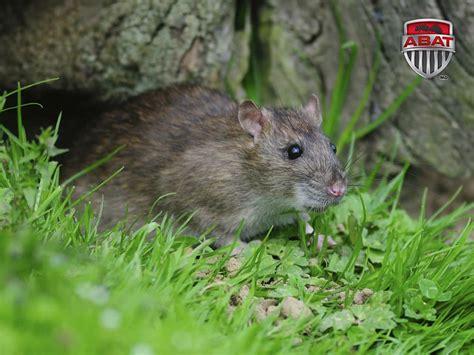 rat en anglais rat gris rat d 233 gout du qu 233 bec description