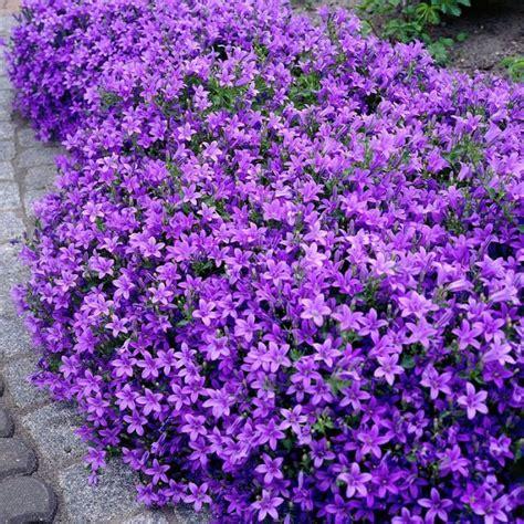 purple flowering perennial ground cover 18 best flowering ground cover plants balcony garden web