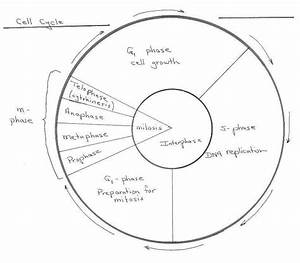 Cell Cycle Practice Worksheet
