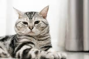 american shorthair cat the american shorthair cat cat breeds encyclopedia