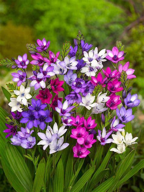 garden bulbs buy babiana mixed bakker com