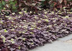 Patate Douce Plante : la patate douce c est une sorte de liseron comestible ~ Dode.kayakingforconservation.com Idées de Décoration