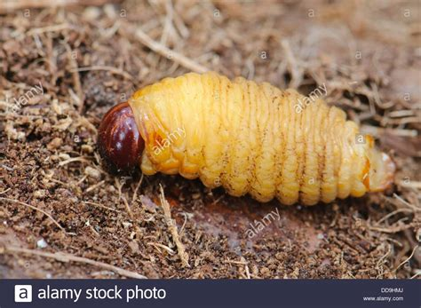 http://www.alamy.com/stock-photo-larvae-from-the-red-palm-weevil-rhynchophorus-ferrugineus-as-found-59833106.html