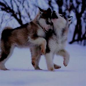 Husky puppies in the snow | You're My Best Friend | Pinterest