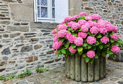 11 beautiful hydrangea flowers garden club