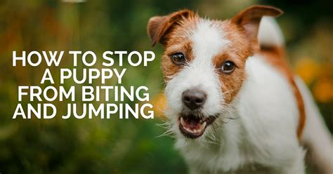 How To Stop My Puppy Jumping On The Sofa by How To Stop My Puppy From Biting Jumping Thatmutt