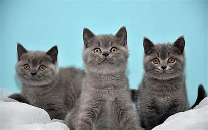British Shorthair Cat Hq Desktop Kittens Baltana
