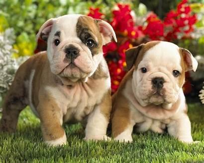 Perros Bulldogs Dos Cachorros Lindos Mascotas