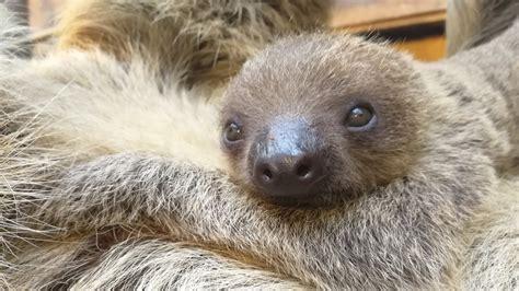 Adorable Baby Sloth At Zsl London Zoo Zoological Society