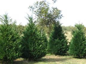 Leyland Cypress Trees Types