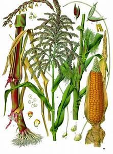 Maize  Corn  Plant Diagram