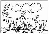 Billy Goat Coloring Pages Goats Colouring Clipart Gruff Colour Three Clip Sheep Template Many Farm Worksheets Library Getcoloringpages Results sketch template