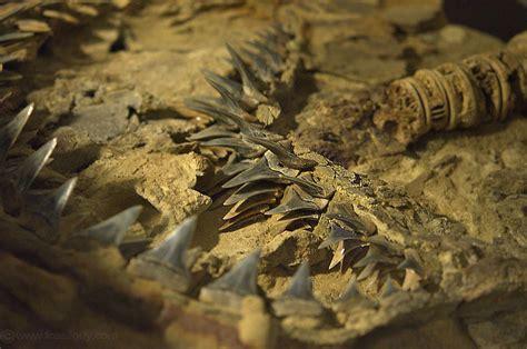 fossilguycom prehistoric white sharks types facts