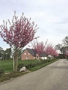 Johannisbeeren Hochstamm Kaufen : prunus serrulata 39 kanzan 39 japanische nelken kirsche g nstig kaufen ~ Eleganceandgraceweddings.com Haus und Dekorationen