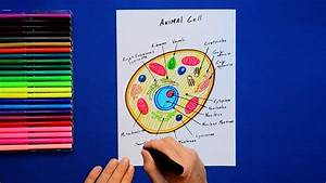 How To Draw An Animal Cell - Labeled Science Diagram