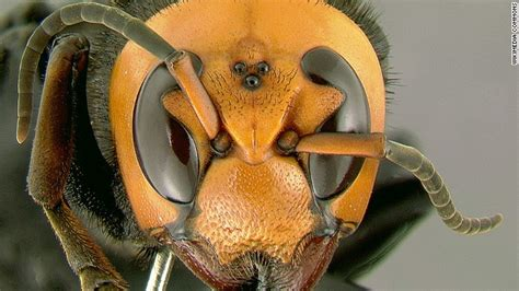 killer hornets sting  people  death  china sick