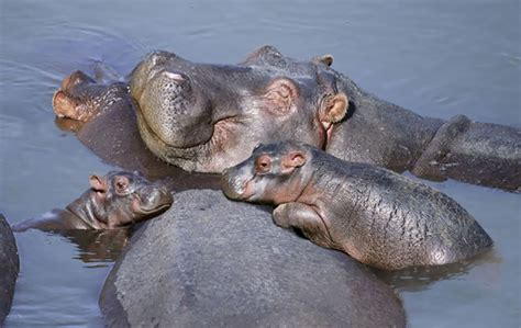 baby hippo 10 baby hippos that will make everything better bored panda