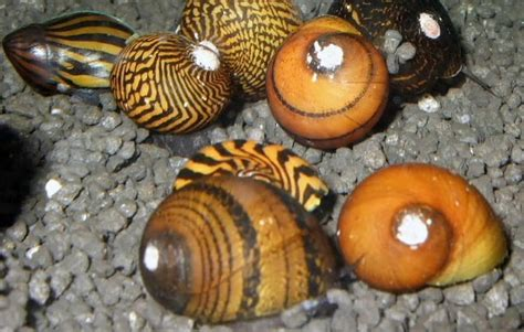 nerite snails neritina natalensis tropical fish keeping