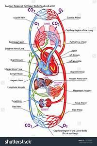 Diagram  Hepatic Portal Vein Diagram