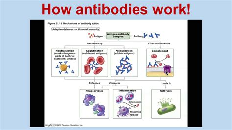 Antibody Production And Vaccination  Ppt Video Online