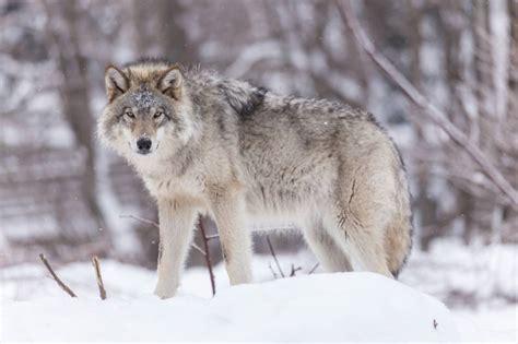 chambre agriculture vosges interdiction de tirer sur le loup une provocation de