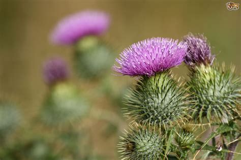 Milk Thistle And Laminitis In Horses Illy Coffee Service Sydney Roaster Nyc New York Value Kl Roasters In London