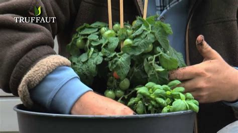 planter basilic en pot comment planter du basilic en pot jardinerie truffaut tv