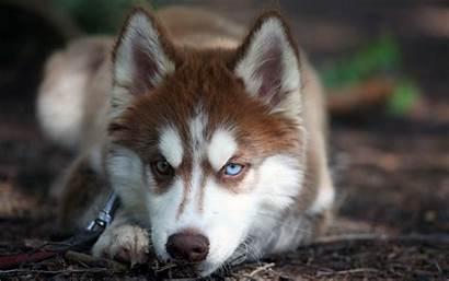 Siberian Huskies Wallpapers Husky Ipad Pro