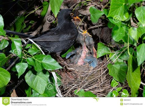 blackbird feeding chicks at nest stock image image of