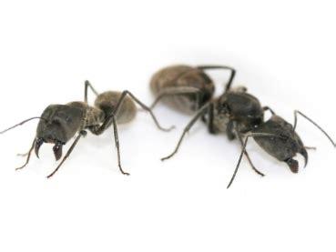 kitchen cabinet bugs pictures antstore ameisenshop ameisen kaufen conotus chinensis 5170