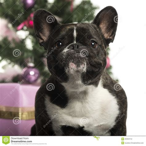 french bulldog  front  christmas decorations stock