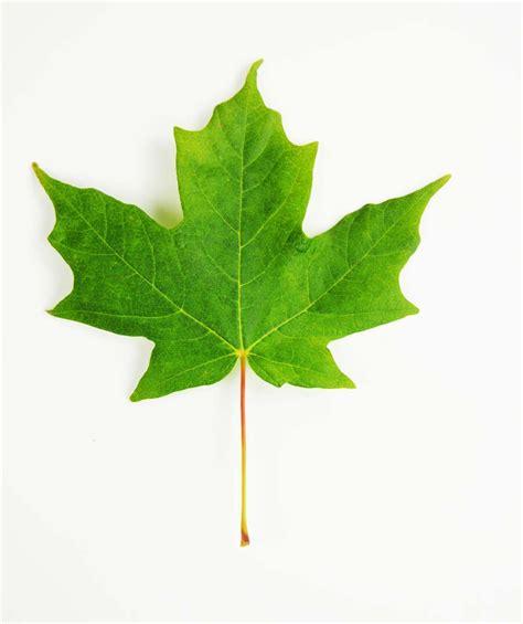 maple leaf legacy 174 sugar maple