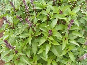 BASIL SWEET - CINNAMON (Ocimum basilicum var. 'Cinnamon')
