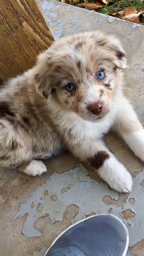 Ja, vierbeinige freunde nehmen ihren besitzern viel ab. 11 kleine Hunderassen, die mehr als süß sind | Aussie welpen, Hunderassen, Süße hunde welpen