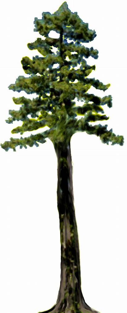 Redwood Clipart Tree Sequoia Tall Clip Giant