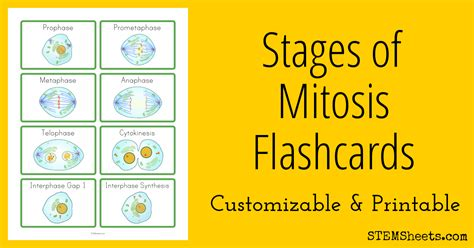 stages  mitosis flashcards stem sheets