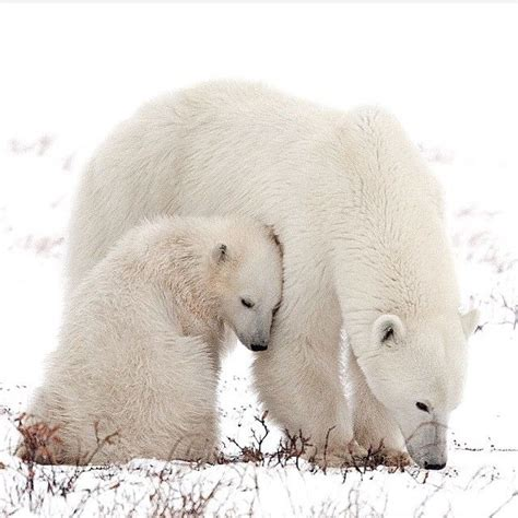 photo  atmzimages  animals animals polar bear
