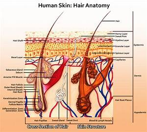 The Anatomy Of Skin Human Anatomy Diagram