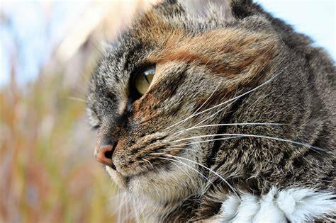 keren  wallpaper wajah kucing rona wallpaper