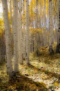 Aspen, Trees, Fall, Tree, Decor, Colorado, Art, Rustic, Wall, Art, Cabin, Decor, Yellow, Gold, Leaves