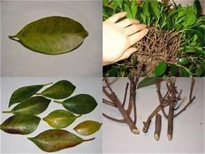 Ficus Benjamini Verliert Alle Blätter : ficus benjamini verliert bl tter pflanzenkrankheiten ~ Lizthompson.info Haus und Dekorationen