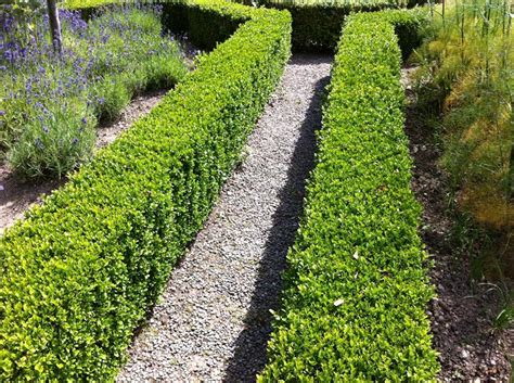 Box - Buxus sempervirens (Bare Root)