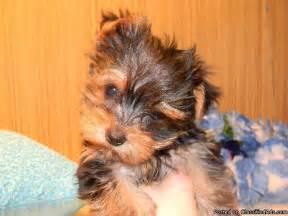 Yorkshire Terrier Yorkie Mix Puppy