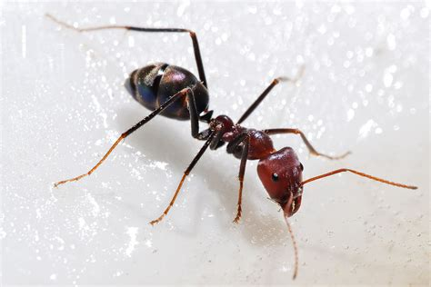meat ant wikipedia