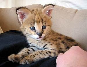 For those who pinned the picture of an African serval cat ...